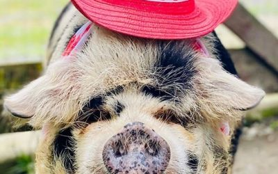 10 Reasons Canada KuneKunes Make the Perfect Canadian Pastured Pig